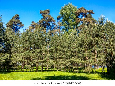 Spring pine trees forest park landscape in spring Saint-Petersburg, Russia