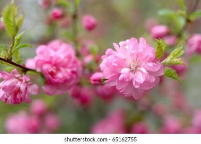 Spring pink cherry blossom (flowers) - sakura in blossom time.
