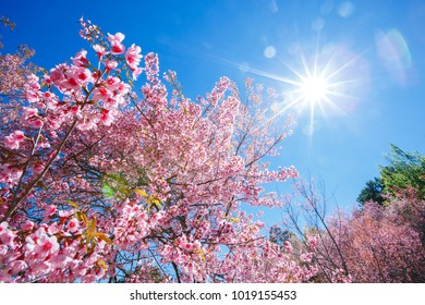 Spring Pink Cherry Blossom tree in sunny day with sun ray  ,Sakura flower blooming in blue sky