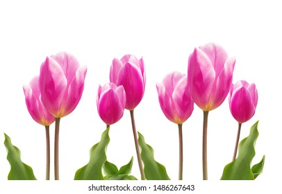 Spring pink tulips flowers, copy space for your message. Isolated on white.