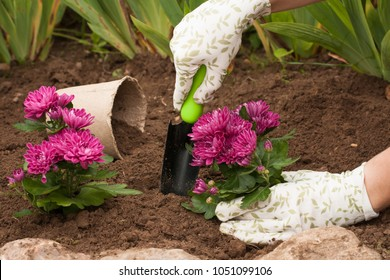 Spring Planting Flowers On Flower Bloom. Female Gardener Put Fresh Bouquet Flowers Chrysanthemum In Earth In Garden In Spring.