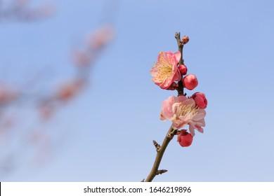 Spring plum blossom Scientific name: Prunus mume