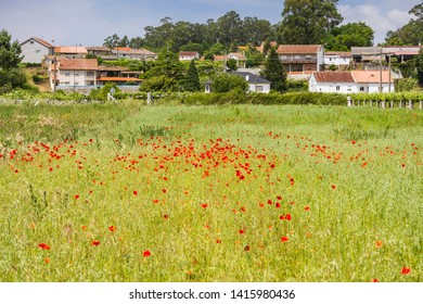 Spring poppies dotting in red the farmlands of Oubina village in Vilanova de Arousa town