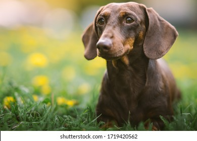 Spring portrait of a brown dachshund with defocused green and yellow background