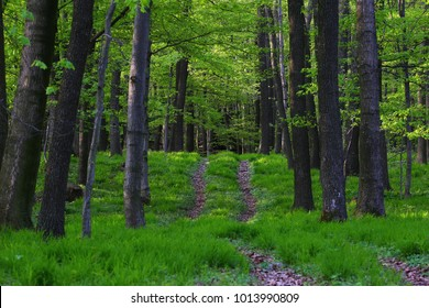 spring primeval forest in slovakia with path