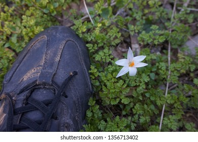 Spring primrose flower and sneakers that can trample it
