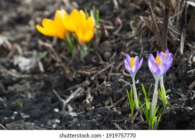 spring-primroses-bloom-purple-yellow-260