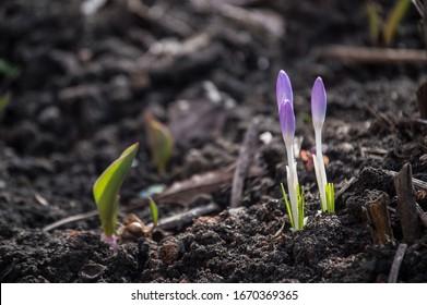 spring-primroses-on-ground-unopened-260n