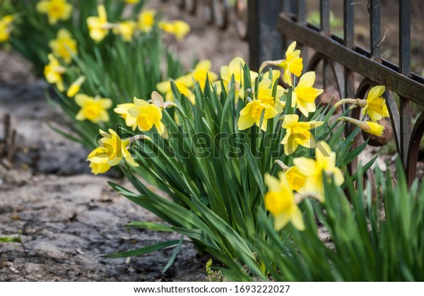 Spring primroses. Yellow daffodils bloom in April