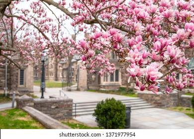 Spring in Princeton NJ. Famous destination in USA Princeton University. Blooming pink cherry trees close-up view.