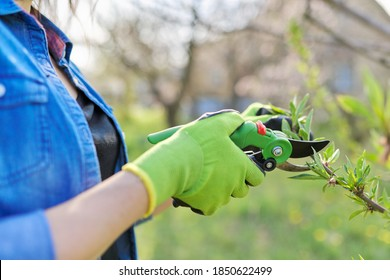 Spring pruning garden, woman gardener with garden scissors in her hands makes pruning of branches on fruit trees, peach tree