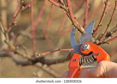 Spring pruning of peach tree.