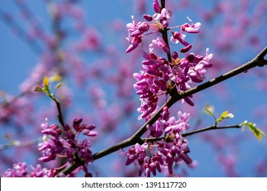 Spring purple bloom of Eastern Redbud, or Eastern Redbud Cercis canadensis on blurred background of pink flowers and blue sky. Selective focus. Concept of nature of North Caucasus for design.