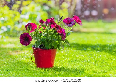 Spring purple flowers in a bucket on the lawn. In the background drops of water and the sun
