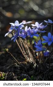 Spring purple flowers (Hepatica nobilis) in forest. Hepatica, liverleaf, liverwort, hepatica nobilis - beautiful spring violet flowers in bloom. Close up.
