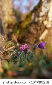 Spring purple flowers - Pasque flower (Pulsatilla) at sunset. Košice, Slovakia, Europe.