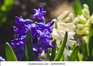 Spring purple hyacinth. Blooming flower on flowerbed. Gardening floriculture. Sunny warm day in garden.