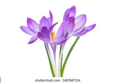 spring purple little crocus flowers isolated on white