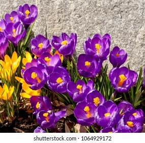 Spring purple and yellow crocuses in full bloom with bright yellow stamens highlighted by a granite wall background