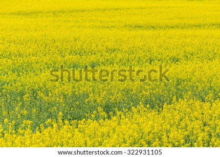 Spring Rapeseed Field Yellow Flower Natural Stock Photo Edit Now