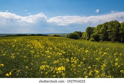 Frühling vergewaltigte gelbe blühende Felder Blick, blauer Himmel mit Wolken im Sonnenlicht. Natürliche Saison, gutes Wetter, Klima, Öko, Landwirtschaft, landschaftliche Schönheit Konzept.