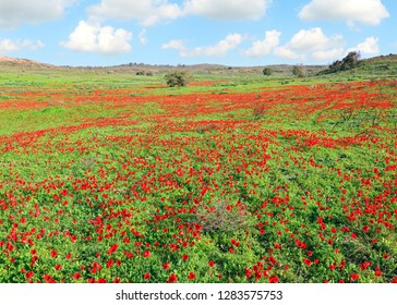 Spring red flowers blossom. Wild anemones blooming on a green meadow. Beautiful sunny day outdoor