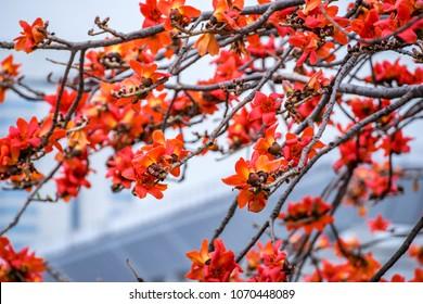Spring red kapok
