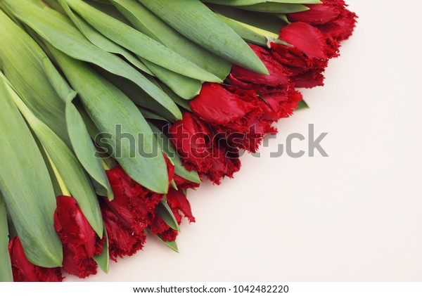 Spring Red Tulip on a White Background with Copy space for Text.