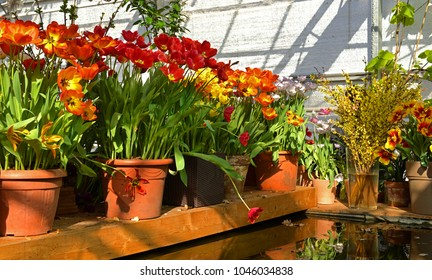 Spring. Red and yellow tulips in pots near pond