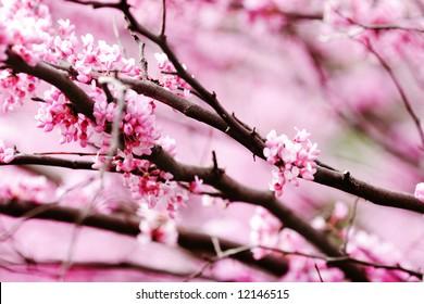spring redbud blossoms.