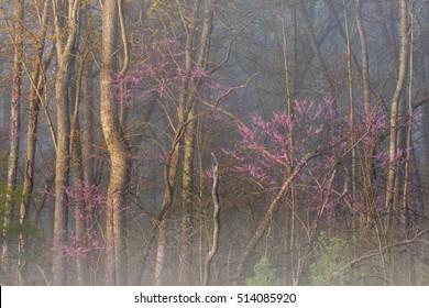Spring redbuds in bloom at sunrise along foggy Kalamazoo River, Michigan, USA