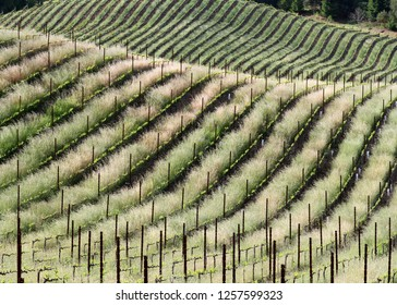 Spring Rolls - New spring growth transcribes curves on rolling vineyard hills. Sonoma County, California, USA
