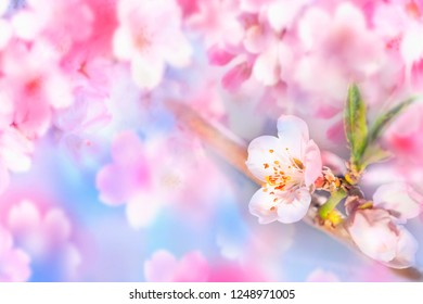 Spring Sacura Cherry blossoms, pink flowers background