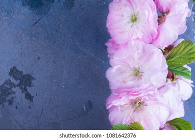 Spring sacura cherry tree flowers blooming twig on gray background, top view flat lay scene