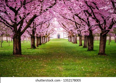 Spring sakura blossom background, Schwetzingen, Germany. Pink flowers of cherry tree. Most popular and widely planted cultivated flowering cherries ( sakura ) in german park