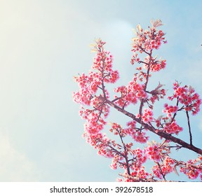 Spring Sakura Cherry Blossom with blue sky