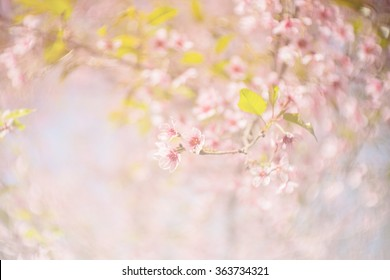 spring sakura pink flower color toned abstract nature background / Spring flowers/Spring Background