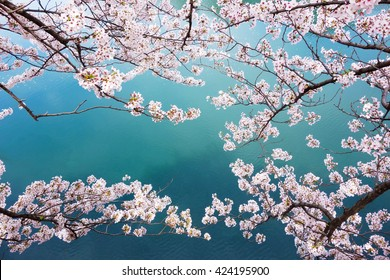 spring sakura pink flower and water background.
