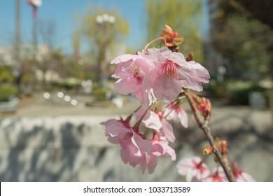 Spring Sakura,Cherry Blossom On Tree