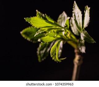A spring sapling againat a black background