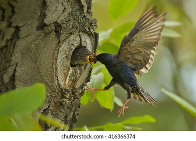 Spring scene, Common Starling, Sturnus vulgaris, flying to the nesthole to feed begging chicks  with opened beak against spring forest in background. Europe.