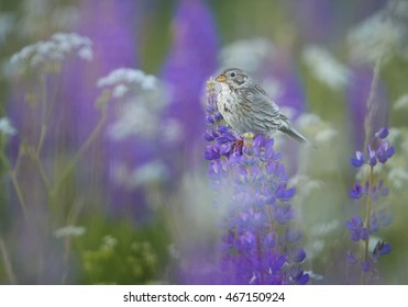Spring scene. Small bird, passerine Corn Bunting, Emberiza calandra, singing, perched on blue-purple lupine, flowering on late spring meadow, full of blossoms. Czech republic.