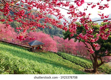 Spring scenery of beautiful cherry blossom trees (sakura) blooming on the green hillside under sunshine and tourists gathering in a gazebo to enjoy the view, in Xinshe District, Taichung City, Taiwan