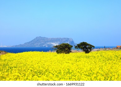 It is a spring scenery of the famous tourist spot 'Sunrise Peak' in Jeju.