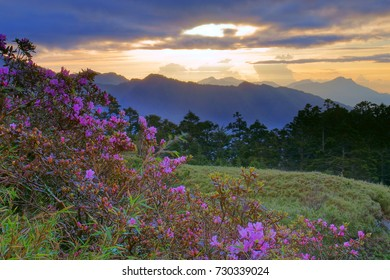 Spring scenery of Hehuan Mountain North Peak,Red Azalea flowers in the cloudy morning,Taroko national park,Hualien,Taiwan,Asia.