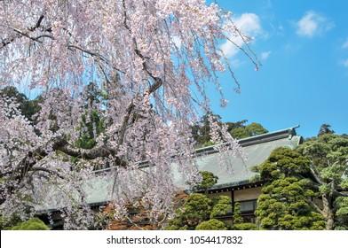 Spring scenery of the Shiogama jinja shrine in Miyagi, Japan