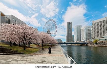 Spring scenery of Yokohama Minatomirai Bay area, with view of high rise skyscrapers in background, a giant Ferris wheel in the amusement park & beautiful sakura blossom trees along a seaside promenade