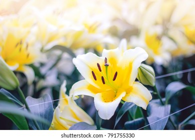 Spring Season Background of Fresh Natural Flower Concept.Soft focus Fresh white lily lovely flower blooming in garden with motion blurred background.Selective focus.Soft vintage film grain Style.