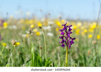 Spring season flowers with a wild growing Green Winged Orchid in a ground level image at the swedish island Oland