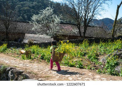 Spring season landscape with rapeseed flower garden, plum blossom and ethnic minority kids with baskets of rapeseed flower in Ha Giang, Vietnam.